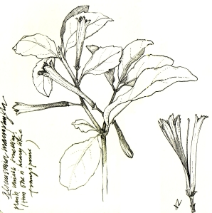 Alseuosmia macrophylla (Large-leaved Toropapa) from a field notebook. Pen and ink.