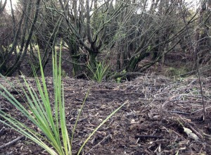 Newly planted cabbage tree seedlings amongst willow