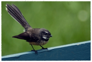 NZ Fantail, Piwakawaka_Michael Lawton_Flickr.com